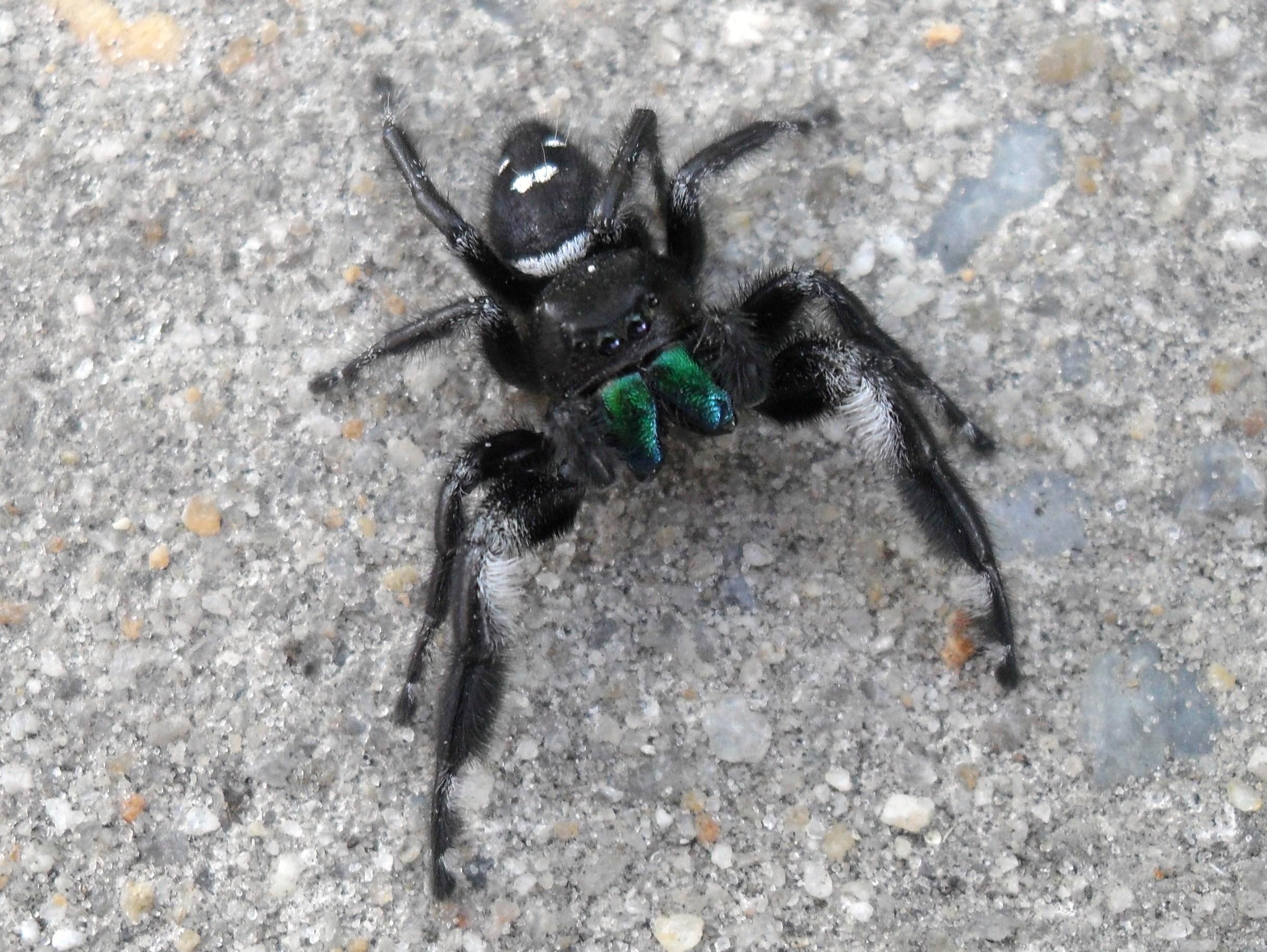 jumping spiders u2013 rebecca heisman