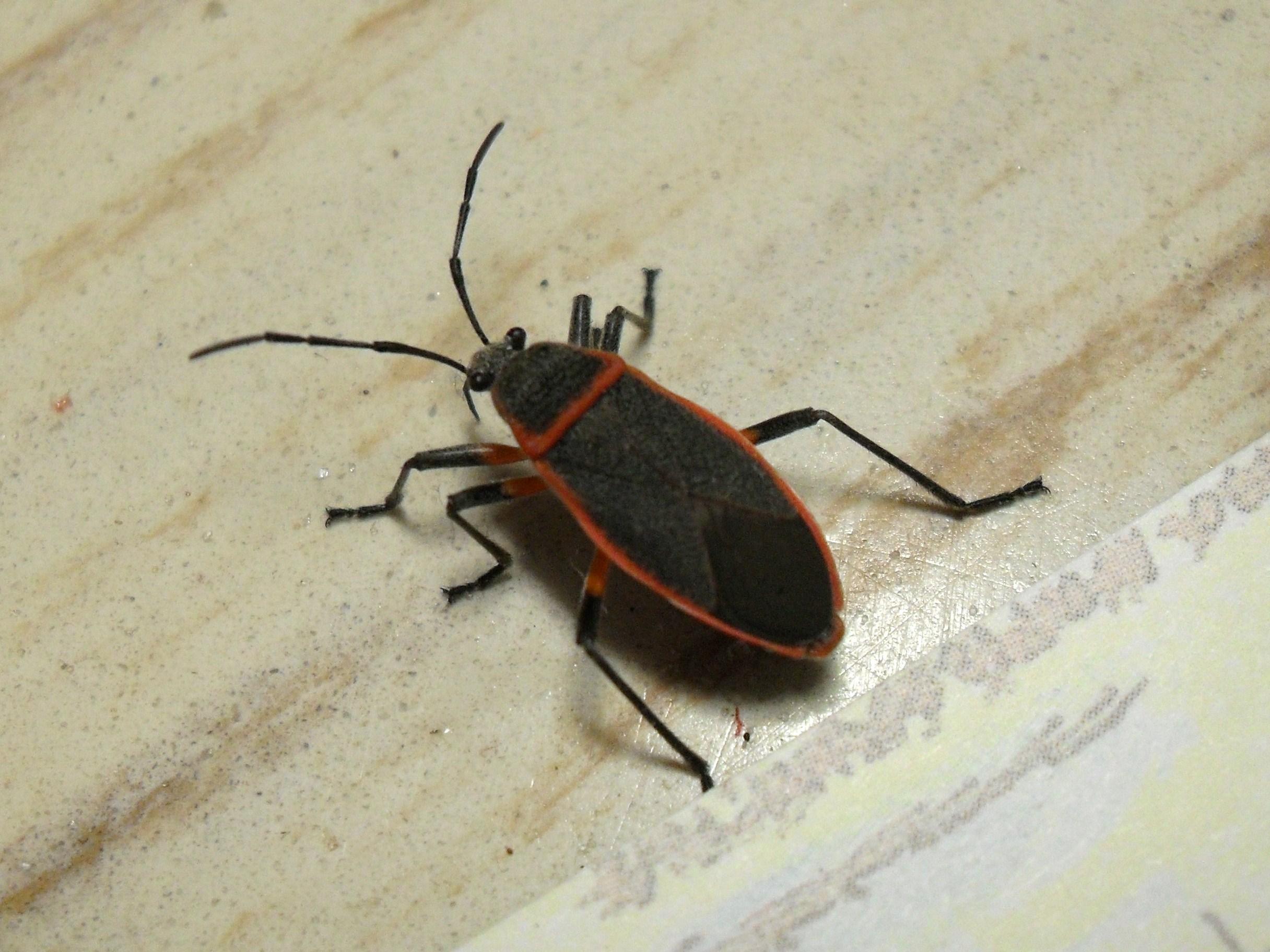 Around its edges that eats plants than bordered plant bug