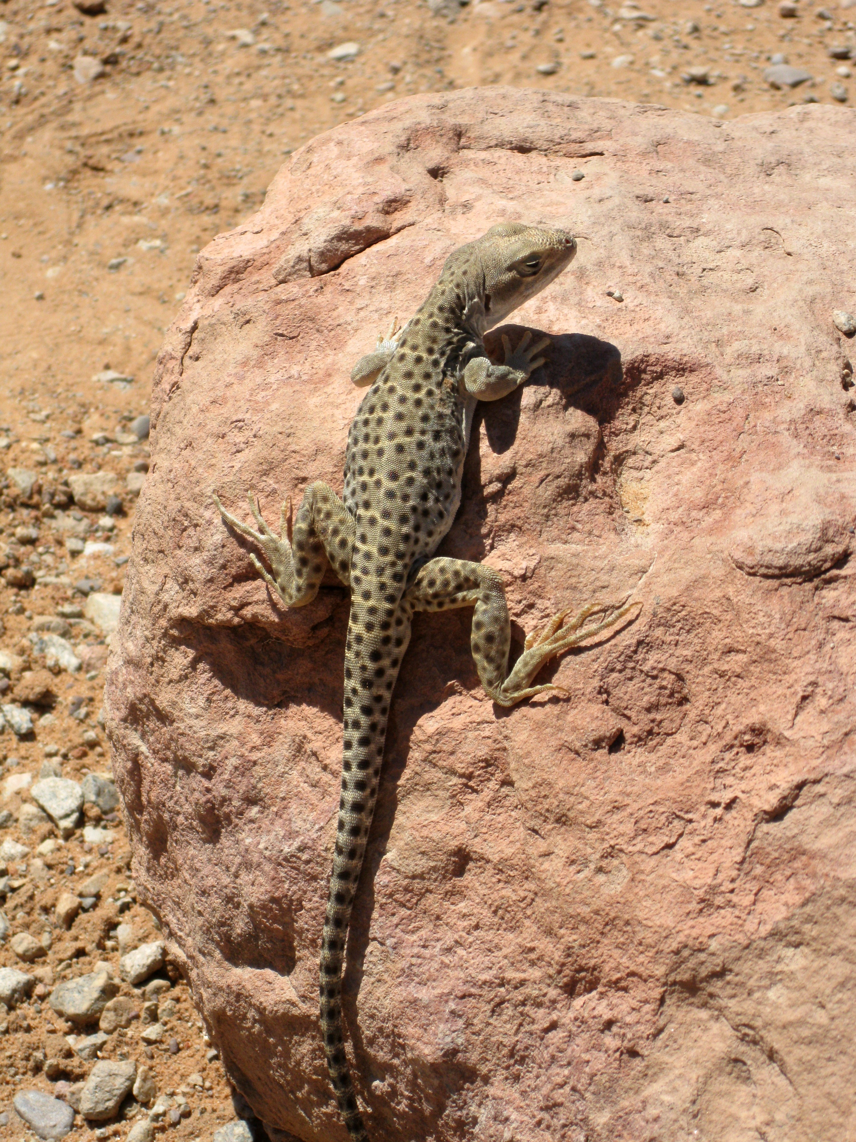 Lizards Eating Other Lizards Eat Other Smaller Lizards