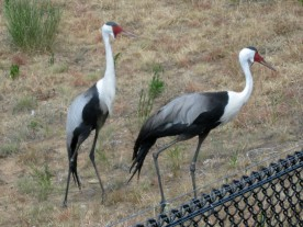 Wattled Cranes, Bugeranus carunculatus, from Africa - you can see the wattles on their throats