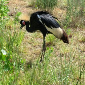 Black Crowned Crane, Balearica pavonina, from Africa