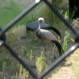 A crappy photo of Blue Cranes, Anthropoides paradisea, from Africa