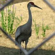 Sandhill Crane, Grus canadensis, the familiar crane of North America