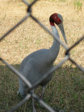 Sarus Crane, Grus antigone, from Asia and Australia - this one is sitting down, but at almost 6 ft tall, this is the world's tallest flying bird