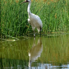Whooping Crane, Grus americana, North America's other crane - less than 500 in the wild