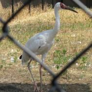 Siberian Crane, Grus leucogeranus, from Asia