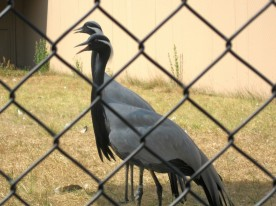 Demoiselle Crane, Anthropoides virgo, from Asia - David Attenborough fans, these are the ones that migrate over the Himalayas in Planet Earth!