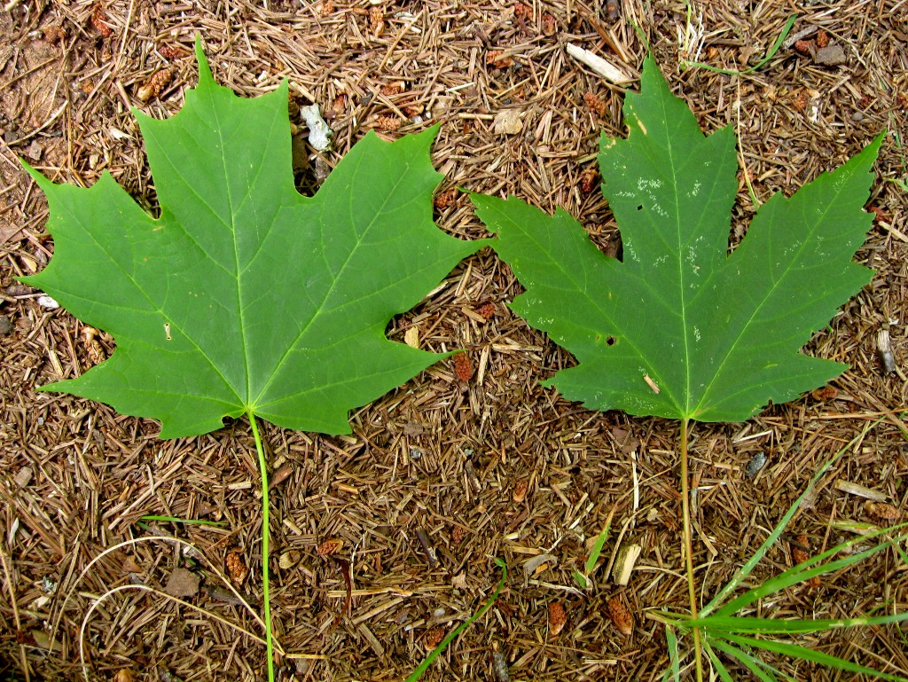 Equestrian Journey Chrome Is Eating Poisonous Red Maple Leaves - Norway maple vs sugar maple