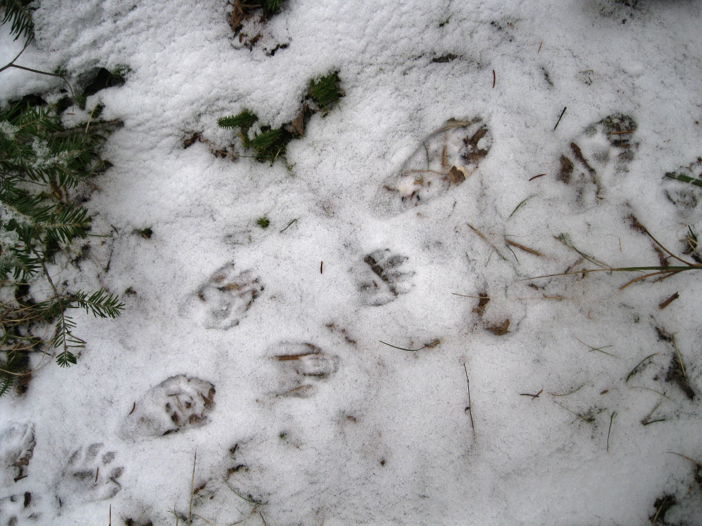 Skunk Tracks vs Raccoon Tracks Skunk Tracks Look Similar But