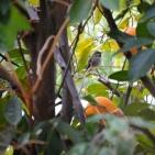 Female Anna's Hummingbird in orange tree