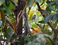 Female Anna's Hummingbird in orange tree