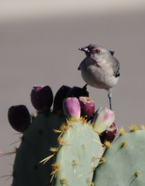 Northern Mockingbird enjoying prickly pear fruit