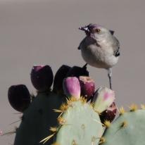 Northern Mockingbird enjoying prickly pear fruit