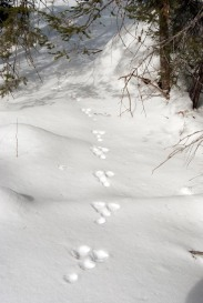 Snowshoe hare tracks.
