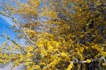 Palo verde tree in bloom (Parkinsonia sp.)