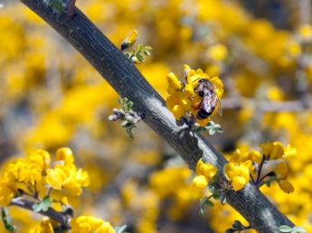 Bee on palo verde flowers (check out the orange pollen basket on its leg)