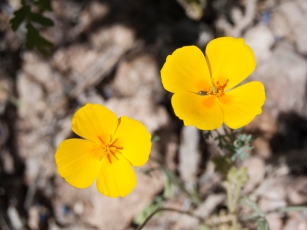 Mexican gold poppies (Eschscholzia californica)