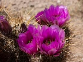 Hedgehog cactus flowers (Echinocereus sp.)