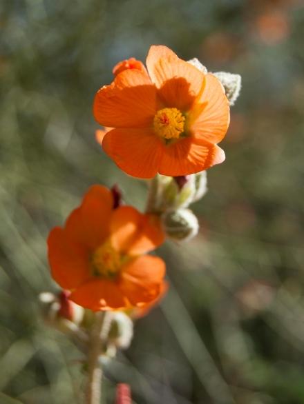 Globemallow (Sphaeralcea coccinea)