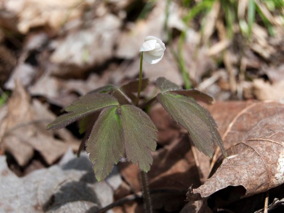 Wood anemone, I think? I guess it's closed up because of the cold weather.