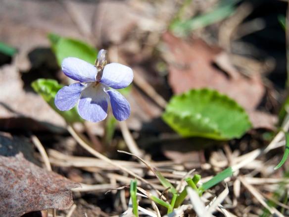 Violet #3